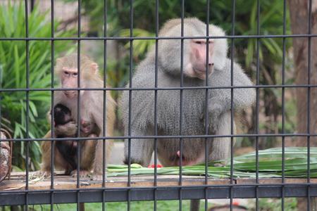 """ของขวัญปีใหม่ สวนสัตว์ขอนแก่นเปิดบ้านรับ """"ลิงบาบูน"""" ฝูงใหญ่สุดในไทย(ชมคลิป)"""