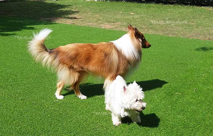 เหล่าหมาน้อยอออกมาวิ่งเล่นที่สนามหญ้า
