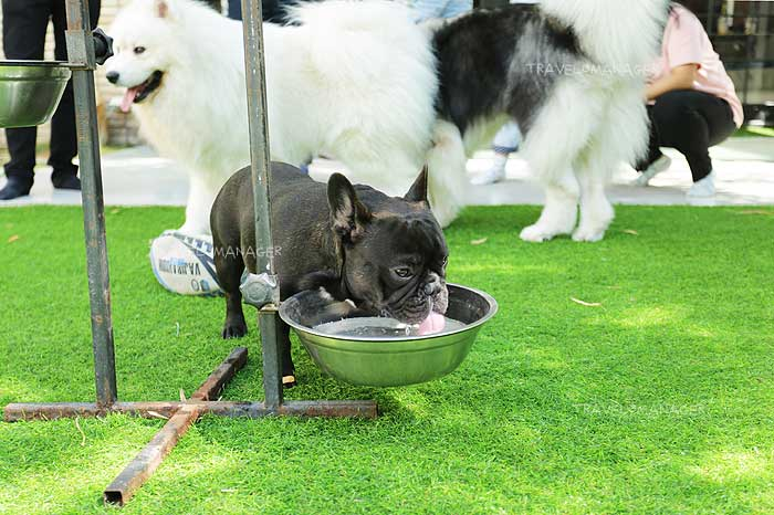 ความน่ารักของเจ้าปุณณ(วิถี) พันธุ์ French Bulldog