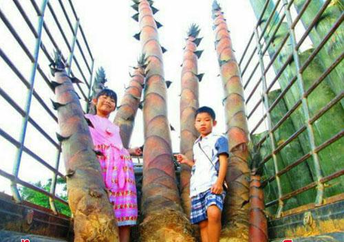 หน่อไม้ จากไผ่ยักษ์