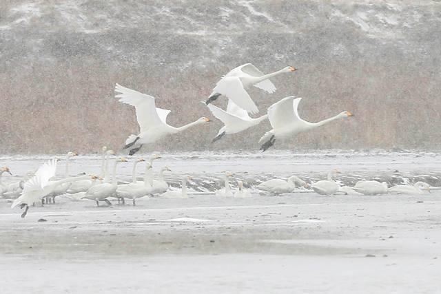 หงส์บินเหนือทะเลสาบหลงเมี้ยว ในอำเภอซีว์อี้ มณฑลเจียงซูทางภาคตะวันออกของจีน ภาพเมื่อวันที่ 5 ม.ค. (ภาพ ซินหวา)