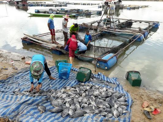 อากาศแปรปรวน! ปลาเลี้ยงในกระชังแม่น้ำมูล ลอยตายเป็นเบือกว่า 5 ตัน