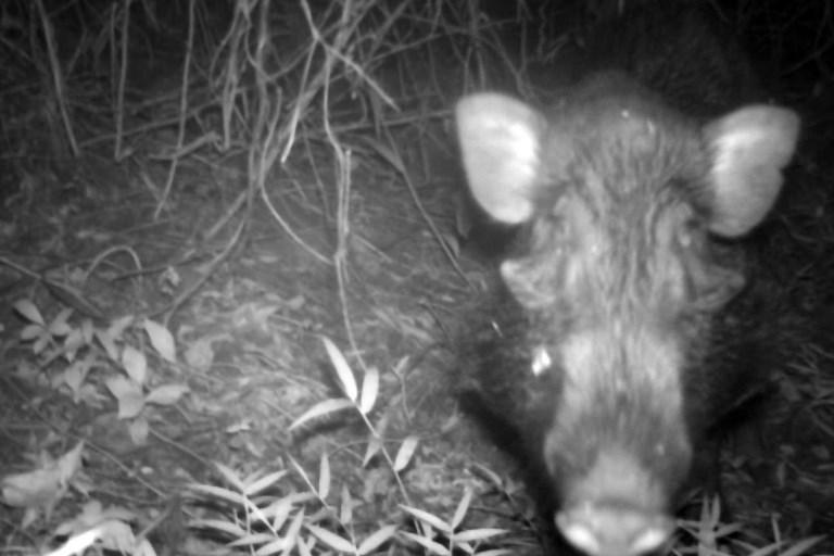 ภาพหมูป่าน่าเกลียดจากกล้องดักถ่ายภาพสัตว์ป่าของสวนสัตว์เชสเตอร์ (Handout / CHESTER ZOO / AFP)