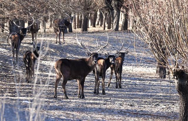 กวางแดงในป่าที่มนุษย์สร้างเป็นเขตอนุรักษาธรรมชาติในเมืองซันหนัน เขตปกครองตัวเองชนชาติทิเบต  ภาพเมื่อวันที่ 6 ม.ค. (ภาพ ซินหวา)