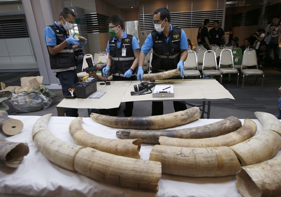 Forensic officers inspect ivory seized at the customs office after a press conference in Bangkok, Thailand, Friday, Jan. 12, 2018. Thai authorities seized 148 kilograms full elephant tusk and 31 tusk fragments originating from Nigeria destined for China worth over 15 million baht ($469,800). (AP Photo/Sakchai Lalit)