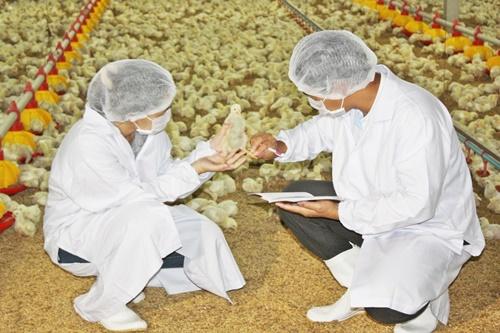 """หายสงสัย เลิกลือ """"กินไก่"""" แล้วอึ๋ม ไก่เนื้อไทยไม่มีฮอร์โมนเร่งโต"""