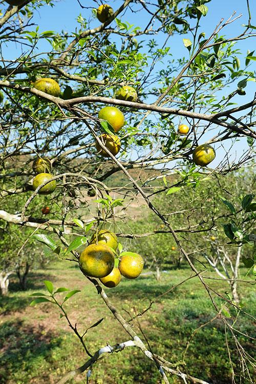 ส้มเขียวหวานพันธุ์สีทอง