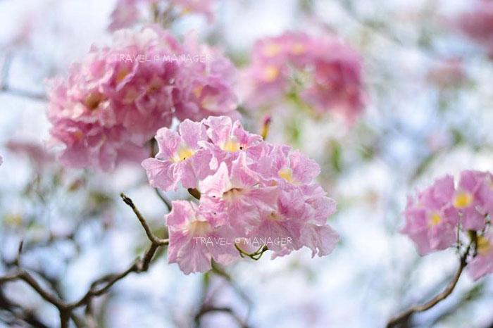 ดอกชมพูพันธุ์ทิพย์ที่สวนรถไฟบานสะพรั่งแล้ว (ภาพล่าสุด 25 ม.ค. 2561)