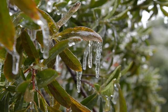 น้ำแข็งห้อยย้อยจากใบไม้ในหนันชัง มณฑลเจียงซี วันที่ 28 ม.ค. (ภาพ ซินหวา)