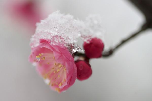 Beautiful China: ความงามบุปผาในอ้อมกอดหิมะขาวพิสุทธิ์