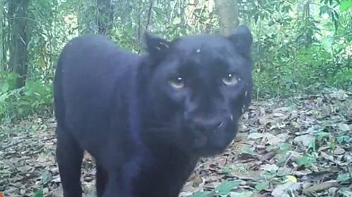 ทุบหัวใจนักอนุรักษ์!! เผยฆ่าเสือดำใช้อะไรคิด