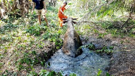 น่าสงสาร แม่ควายพาลูกเดินหาน้ำกินในป่าจนพลัดตกบ่อน้ำ โชคดีช่วยได้
