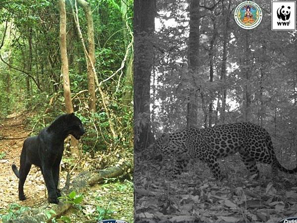 """WWF ยัน """"เสือดำ"""" ติดหนึ่งในสัตว์ป่าลักลอบซื้อขาย"""