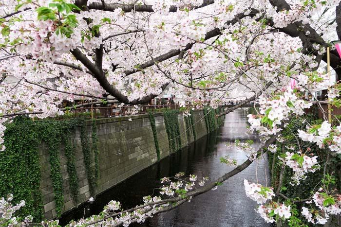 """สะพรั่งงามทั่วญี่ปุ่น กับ """"16 จุดชมซากุระ"""" สุดประทับใจ"""
