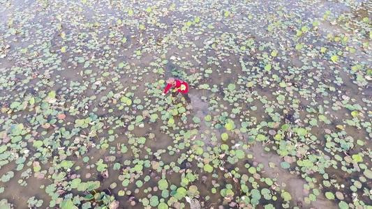 ชาวนาบัวโอดอากาศเย็นต้นปีทำบัวออกดอกน้อยไม่พอขายวันมาฆบูชา