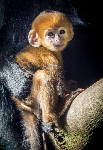 A baby Francois langur monkey sits with his parents in Diergaarde Blijdorp zoo in Rotterdam on February 26, 2018. Lex van Lieshout/ANP/AFP