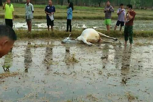 บุรีรัมย์-ฝนฟ้าคะนองฟ้าผ่าวัวของเกษตรกรที่ผูกเลี้ยงไว้กลางทุ่งนาตายคาที่ 2 ตัว
