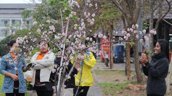 """บานแล้ว """"ซากุระญี่ปุ่น""""สะพรั่งท้าลม-ฝนบนศาลากลางเชียงราย"""