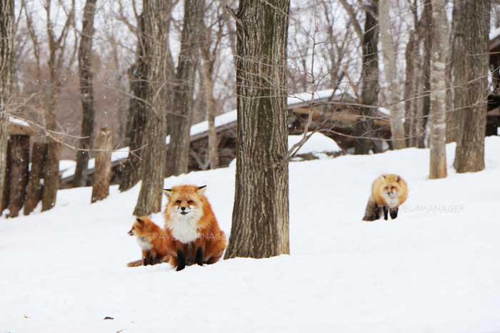 หมู่บ้านสุนัขจิ้งจอกซาโอะเลี้ยงสุนัขจิ้งจอกแบบให้อยู่ตามธรรมชาติ
