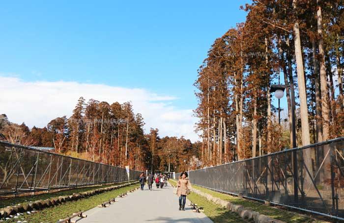 ทางเดินไปสู่วัดซุยกันจิจะได้เห็นต้นสนขนาดใหญ่