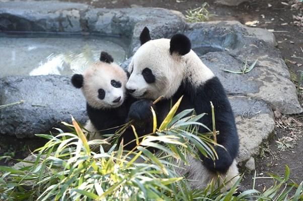 """ญี่ปุ่นขอจีนยืม """"หมีแพนด้า"""" ฉลอง 40 ปีฟื้นฟูมิตรภาพ 2 ประเทศ"""
