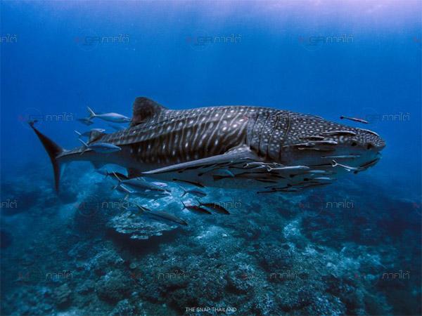 สุดดีใจ! นักดำน้ำพบฉลามวาฬว่ายน้ำแล่นแถวเกาะบอน