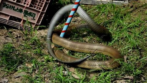 เตือนภัย!!! ช่วงนี้งูจงอางผสมพันธุ์ จนท.กู้ภัยย้ำเจองูอย่าจับเอง