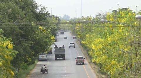 ความงามหน้าแล้ง ถนนสายดอกคูนเหลืองอร่ามทั้ง 2 ฝั่งถนนเมืองอ่างทอง