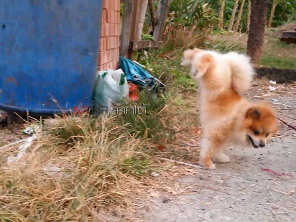 ลีลาสุดแปลก! ลูกสุนัขพันธุ์ปอมเมอเรเนียนยกขาหลัง 2 ข้างขึ้นชี้ฟ้า ก่อนฉี่ทุกครั้ง (มีคลิป)