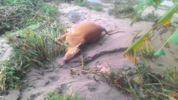 แทบล่มจม! ชาวบ้านแม่ซอขุนยวมร่ำไห้ พายุฝนถล่มวัวควายตายเกลื่อน-กระเทียมเตรียมขายจมน้ำหมด