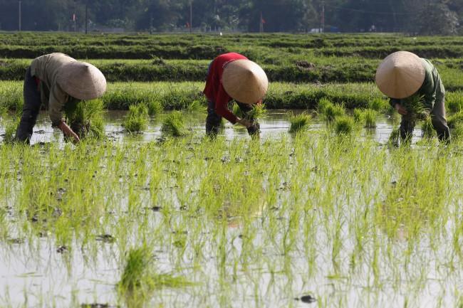 เวียดนามส่งออกข้าวไตรมาสแรก 1.4 ล้านตัน ตั้งเป้าดันข้าวคุณภาพสูง