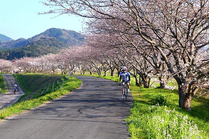 เส้นทางปั่นผ่านถนนสายซากุระในวันที่ 2