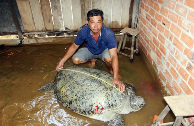 <br><FONT color=#00003>ชาวประมงคนนี้บ่นอุบ ไหนจะค่าน้ำมัน ไหนจะค่าอวนที่เต่าทำขาด เลี้ยงไว้ที่บ้านมานานกว่าเดือน หาปลาให้กินทุกวัน นำกลับออกไปทะเล มีค่าใช้จ่ายอีกใช่น้อยๆ มันเป็นลาภที่ไม่พึงได้อย่างแท้จริง -- ความซวยไม่เข้าใครออกใคร. -- Courtesy of SaoViet Online.</a>