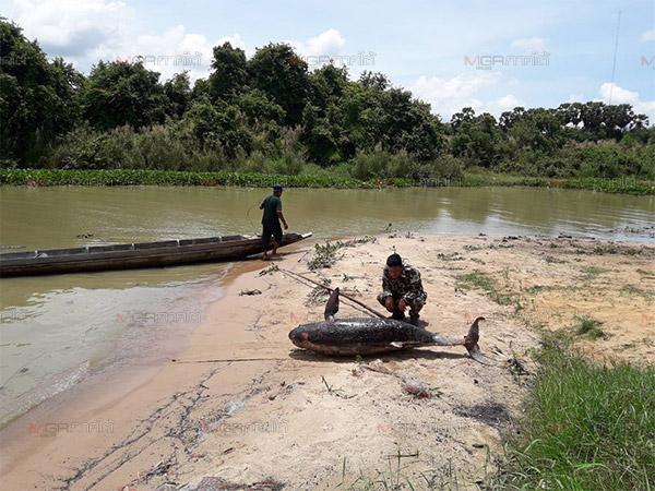 น่าเศร้า! ชาวบ้านพัทลุงพบซากโลมาอิรวดีน้ำจืดตายเพิ่มอีก 1 ตัว