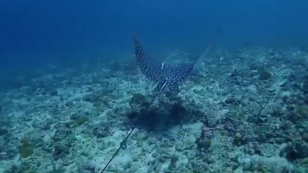 ฮือฮา! นักประดาน้ำพบกระเบนหายากใต้ทะเลเกาะพีพี