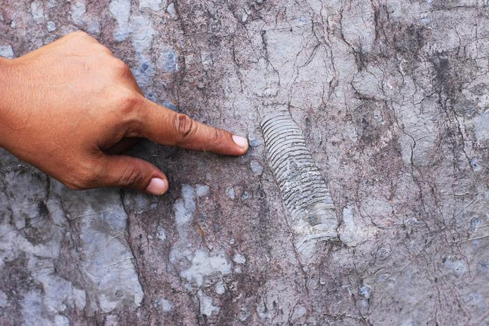 ฟอสซิลนอติลอยต์ขนาดใหญ่ แห่งมหายุคพาลีโอโซอิก