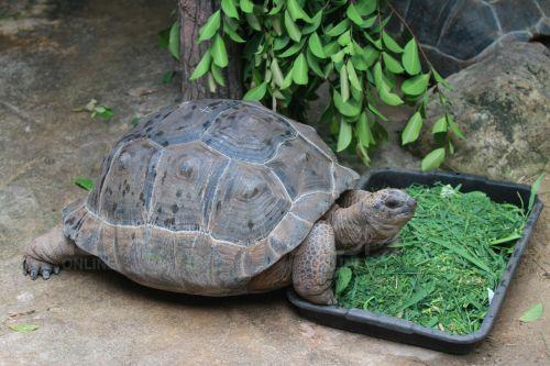 """สวนสัตว์ดุสิต เปิดตัว """"เต่าอัลดาบรา"""" มีขนาดใหญ่เป็นอันดับ 2 ของโลก"""