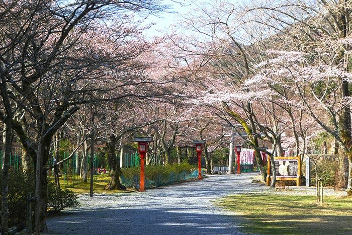 วัดไทเนจิ เป็นหนึ่งในจุดชมซากุระเลื่องชื่อของเมืองนากาโตะ