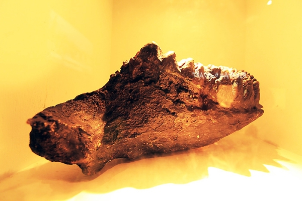 ฟอสซิลขากรรไกรและฟันกรามช้างสเตโกดอน พบในถ้ำ อ.ทุ่งหว้า