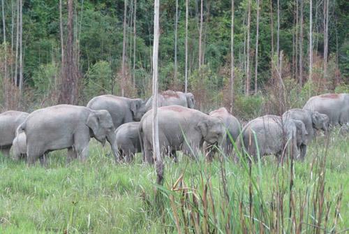 ระทึก จนท.บันทึกคลิปช้างป่าโขลงใหญ่กว่า 60 ตัว ออกหากินทุ่งหญ้า-พืชไร่ชาวบ้านบุรีรัมย์(ชมคลิป)