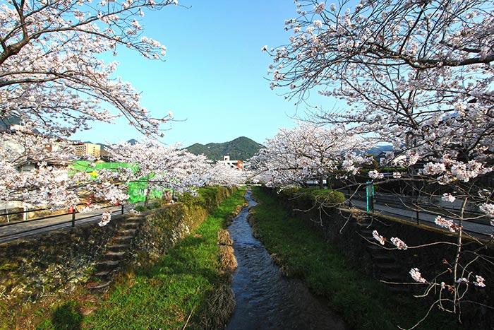 ในฤดูใบไม้ผลิ ริมแม่น้ำอิจิโนซากะจะงดงามไปด้วยซากุระที่ออกดอกบานสะพรั่ง