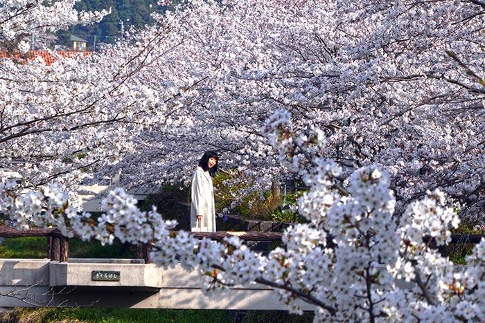 นักท่องเที่ยวหามุมเฉพาะบันทึกภาพแห่งความทรงจำกับดอกซากุระริมแม่น้ำอิจิโนซากะ