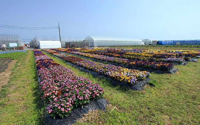 แปลงดอกไม้ฟาร์มฮานะโนะอุมิ