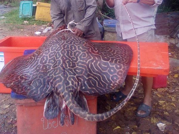 ฮือฮา! ชาวประมงกระบี่จับกระเบนลายเสือขนาดยักษ์ ปลาหายาก พบไม่บ่อย