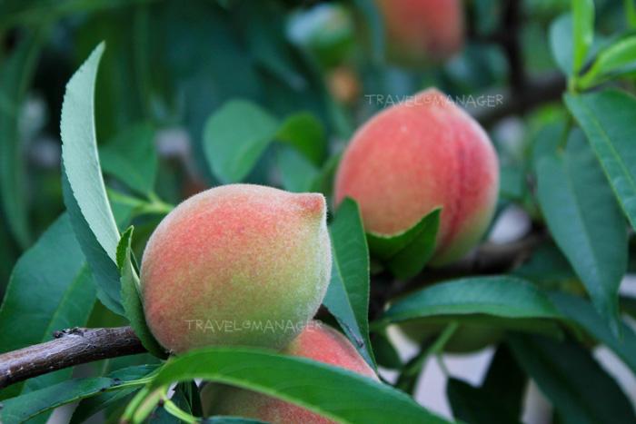 ลูกพีชสดๆ จากต้น ที่ Xinfeng Orchard