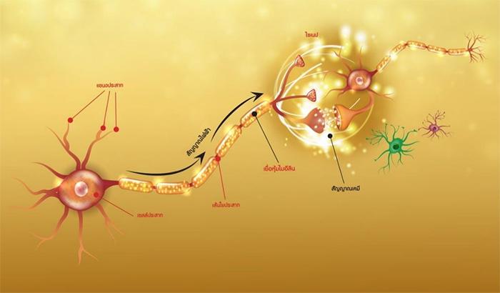 รูปแขนงประสาทนำออกที่มีปลอกไมอีลินห่อหุ้ม ส่งผลให้การส่งสัญญาณรวดเร็ว มีลักษณะก้าวกระโดด