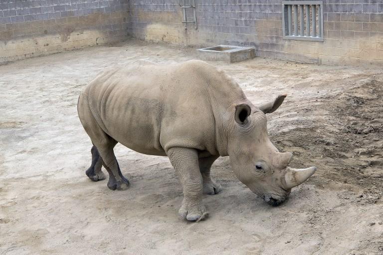 วิคตอเรีย แรดขาวใต้ตัวเมียที่ตั้งท้องจากการผสมเทียม  (Tammy SPRATT / San Diego Zoo Safari Park / AFP)