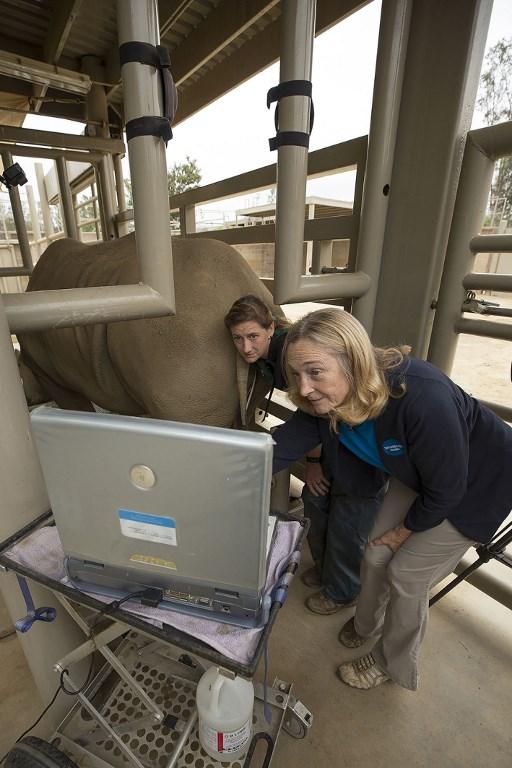 บาร์บารา เดอร์แรนท์ (Barbara Durrant) ผู้อำนวยการฝ่ายวิทยาการขยายพันธุ์ของสวนสัตว์ซานดิเอโก ดูภาพอัลตราซาวน์ที่เผยให้เห็นว่าแรดขาววิคตอเรียตั้งท้อง (TAMMY SPRATT / SAN DIEGO ZOO SAFARI PARK / AFP)