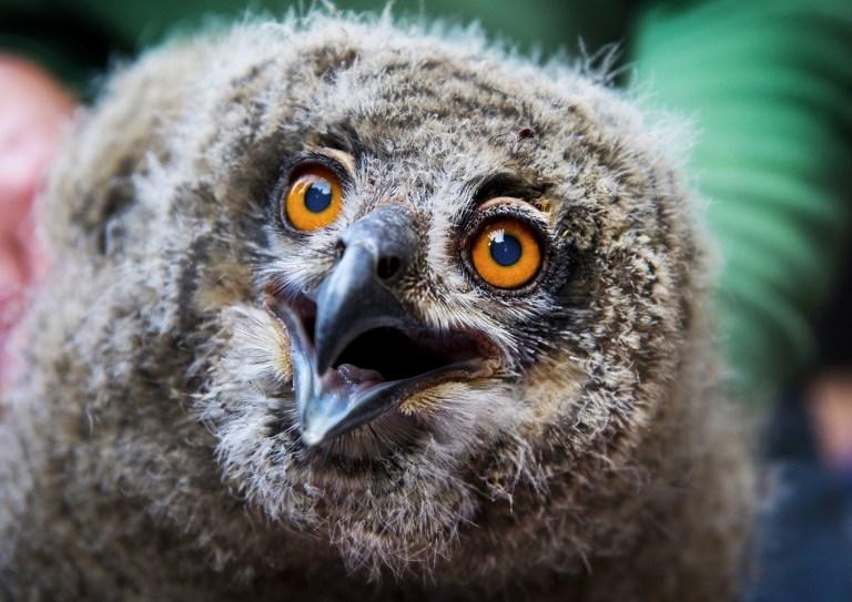 ลูกนกเค้าอินทรี  แสดงท่าทีโต้ตอบระหว่างสวนสัตว์นำมาอวดโฉมหลังวัดขนาด ชั่งน้ำหนักและใส่ห่วงขา  (Piroschka van de Wouw / ANP / AFP)