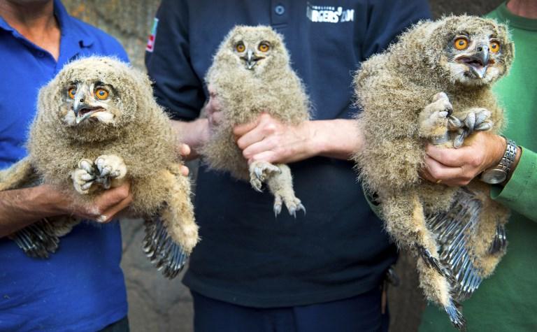 ลูกนกเค้าอินทรี  3 ตัว ระหว่างสวนสัตว์นำมาอวดโฉมหลังวัดขนาด ชั่งน้ำหนักและใส่ห่วงขา  (Piroschka van de Wouw / ANP / AFP)